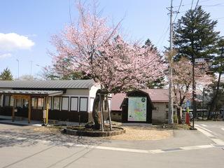 桜001.jpg