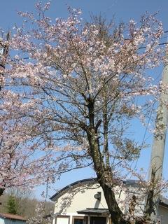 桜003.jpg